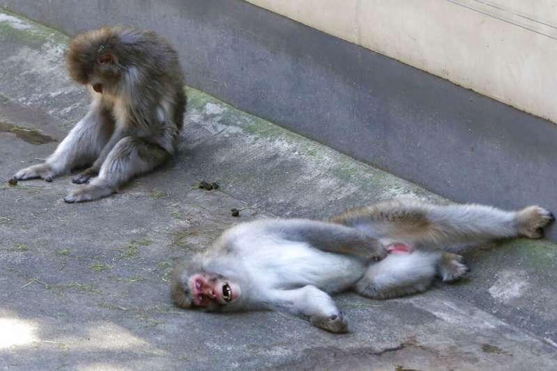 東京連日高溫,連上野動物園的猴子也感覺熱壞了。(美聯社)