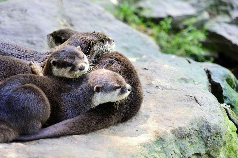 歷經數十年棲地萎縮和非法毛皮交易威脅後,所有亞洲水獺物種長期被列為易危或瀕危物種。(示意圖非本人/hamikus@pixabay)