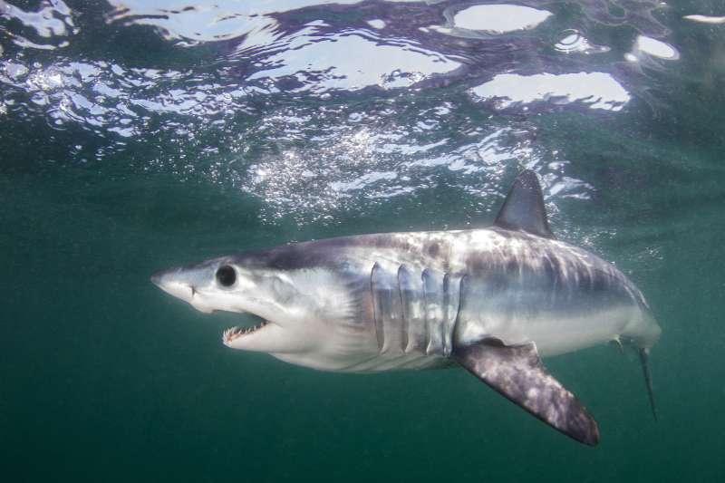 尖吻鯖鯊納入CITES新保育名單(AP)