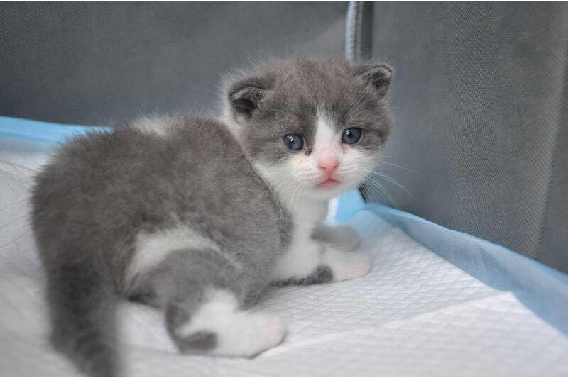 中國第一隻複製貓「大蒜」已在日前滿月(圖/希諾谷生物科技微博)