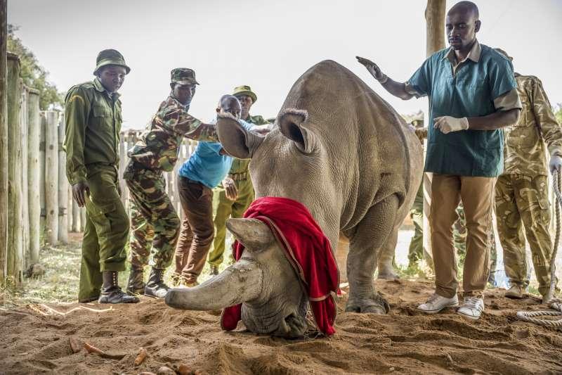 目前世上僅存唯2的北非白犀牛之一——珐圖。(AP)