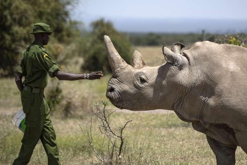 今年30歲的北非白犀牛娜晶,是全球僅存的2隻北白犀之一。(AP)