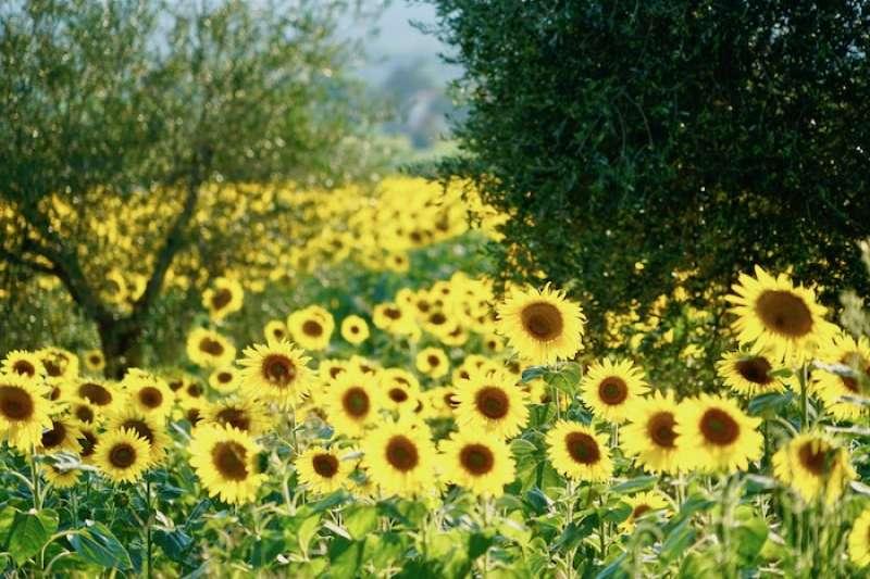 在艷陽下迎風搖曳的向日葵。(曾廣儀)