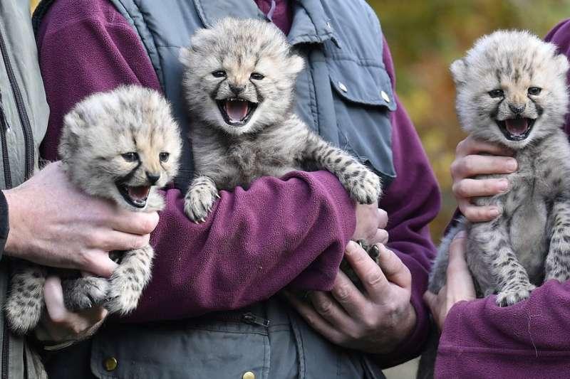 CCF指出若盜獵情況不立即改善,未來可能無法在野外看到獵豹的身影。(美聯社)