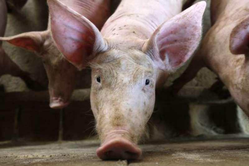 非洲豬瘟2018年8月傳入中國,至今已傳遍中國大陸31個省區市。
