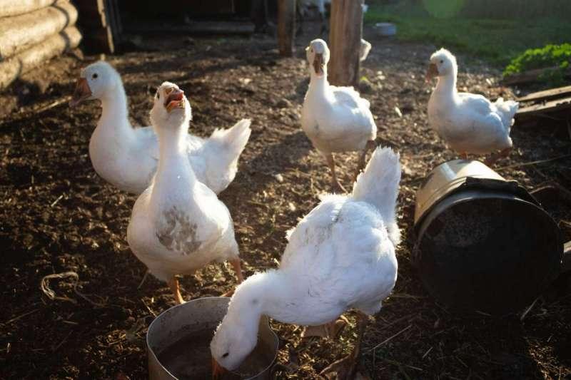 近來多有民眾通報,板橋殯儀館附近出現許多白色雞鴨遊蕩(圖/Unsplash)