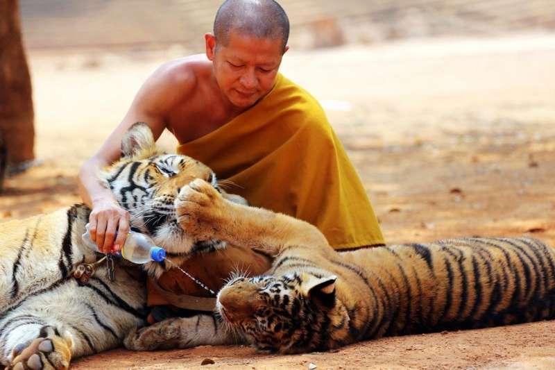 泰國當局3年前從「老虎廟」救出的老虎如今過半染病死亡(美聯社)