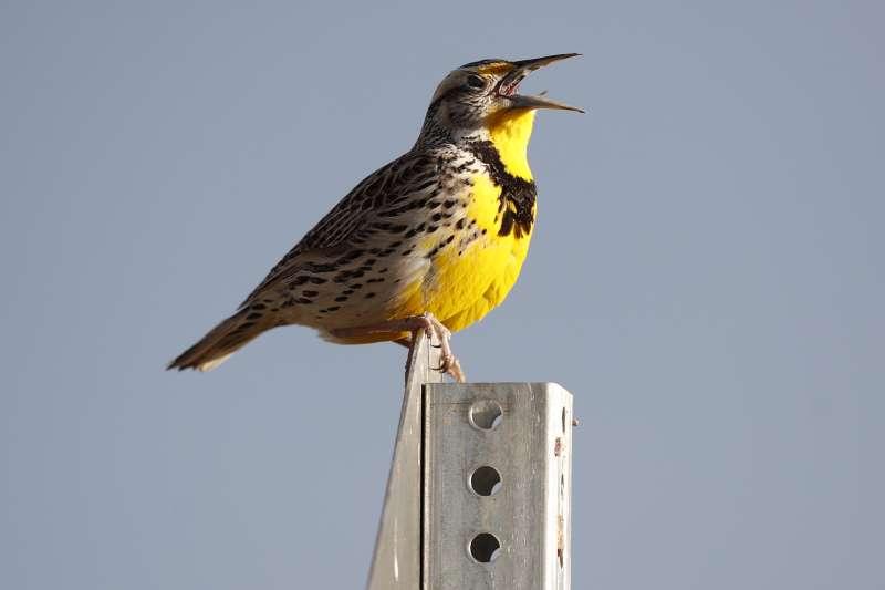 最新研究指出,美國與加拿大從1970年以來減少29%鳥類,約相當於30億隻。圖為北美西草地鷚。(AP)