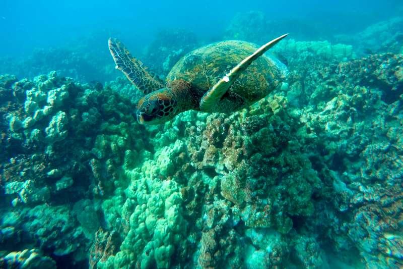 2015年,夏威夷帕帕灣經歷一場海洋熱浪,造成近半數珊瑚礁死亡。(AP)