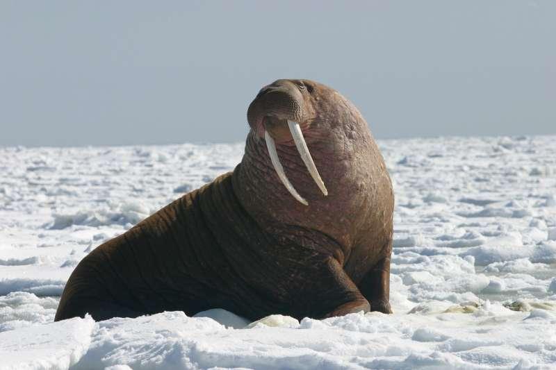 (示意圖)一隻海象媽媽在北極海域隻身擊沉俄羅斯軍艇。(Alaska Region U.S. Fish & Wildlife Service@flickr/CC BY-NC-ND 2.0)