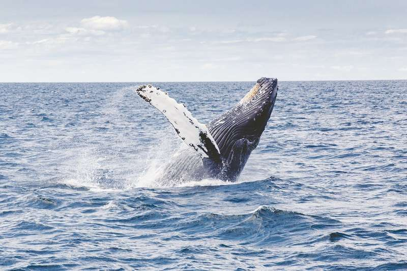 全球暖化有救了!只要停止捕鯨,就相當於瞬間長出20億棵成熟樹木-風傳媒