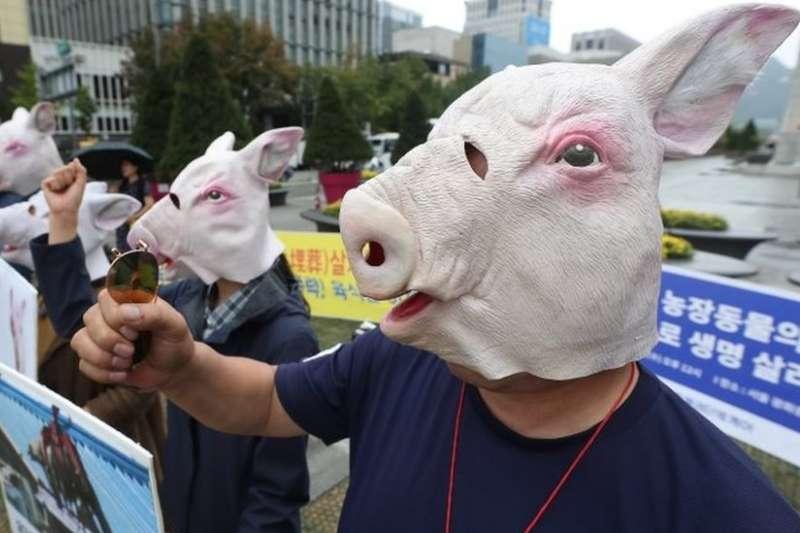 南韓動物權益組織人士抗議大批撲殺生豬。(BBC)