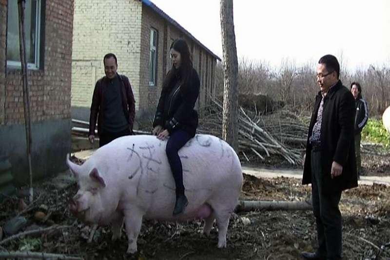 非洲豬瘟肆虐一度導致中國豬價大漲,農家興起養「巨豬」的風潮。(AP)