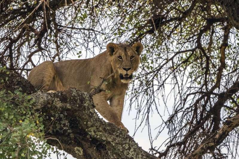 近年來非洲生態遭人類嚴重破壞,獅子數量銳減,目前已列入瀕危物種。(AP)