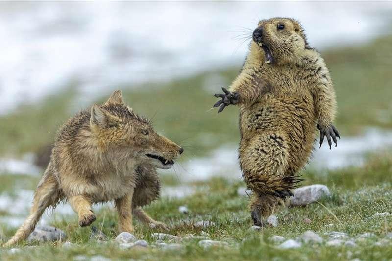 中國攝影師鮑永清捕捉一隻土撥鼠在躲避狐狸獵捕時,驚恐張大嘴巴的瞬間,奪下2019年野生動物攝影師大賽首獎。