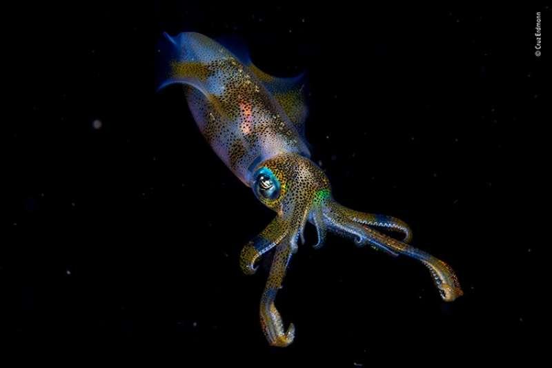 攝影師Cruz Erdmann以「發亮的大鰭烏賊」作品,獲得該比賽年輕攝影師獎
