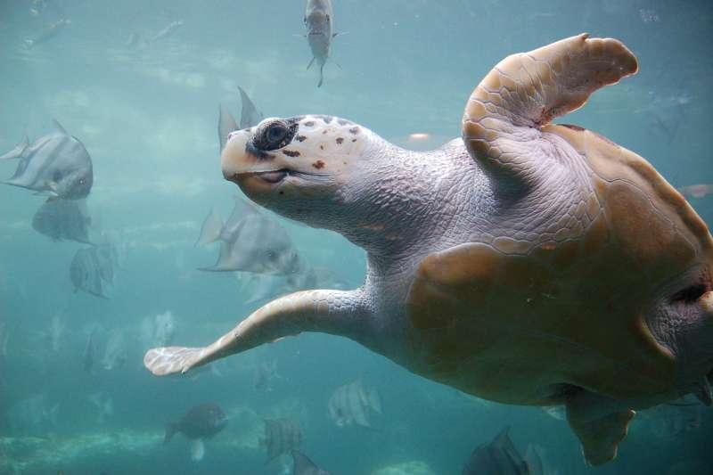 全球暖化效應已讓海龜性別比例嚴重失衡。圖為一隻成熟的赤蠵龜。(ukanda@wikipedia_CCBYSA2.0)