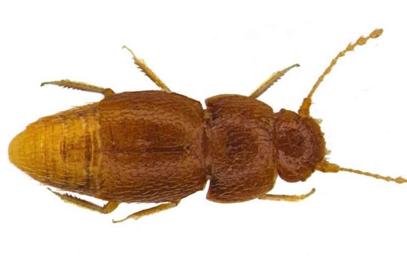 「葛瑞塔蟲」體積微小,體長不足0.1公分,學者達比的妻子常暱稱牠們為「句點」。(翻攝自Natural History Museum網站)