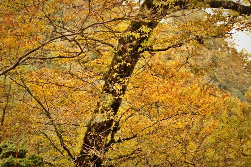 宜蘭縣太平山國家森林遊樂區的台灣山毛櫸步道,目前黃葉率約70%,金黃耀豔的山毛櫸葉搖曳空中、飄落地面,漂亮且富有詩意,一點也不輸給山下的拍照打卡景點落羽松!吸引大批遊客上山沐浴在芬多精和秋葉落雨中。(圖/羅東林務局提供)