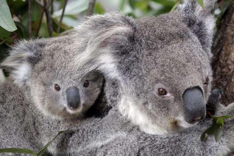 澳洲近日野火肆虐,數百無尾熊恐葬身火海。(AP)