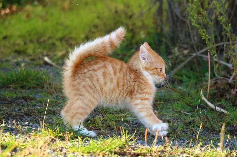貓咪把尾巴豎起來究竟是什麼意思?(圖/pixabay)