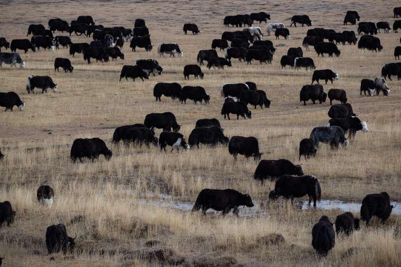 在石渠縣色須鎮紅旗一村,犛牛群徜徉在紮西卡大草原上。(新華社)