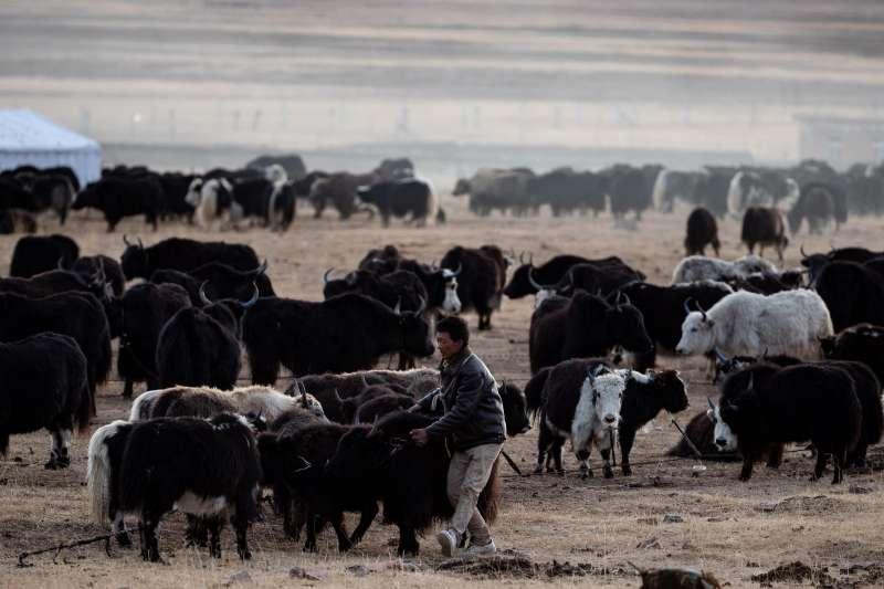 在石渠縣色須鎮紅旗一村,當地藏族群眾魯達驅趕不聽話的犛牛回到定居點。(新華社)