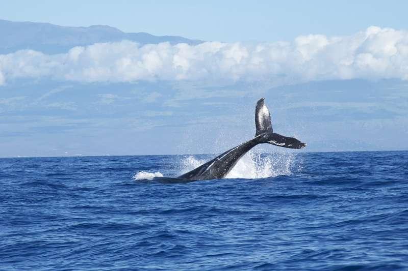 船艇的螺旋槳運轉聲可對鯨類的聲納傳播造成干擾,並因此導致迷失方向的鯨群大規模擱淺。(示意圖/Free-Photos@pixabay)
