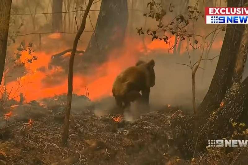 澳洲從去年9月開始的森林大火持續蔓延,8千隻無尾熊在野火中死亡。(資料照,取自You Tube)
