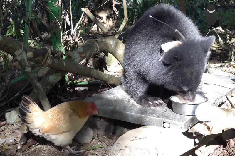 南安小熊與熊麻雞。(南安小熊視頻截圖)