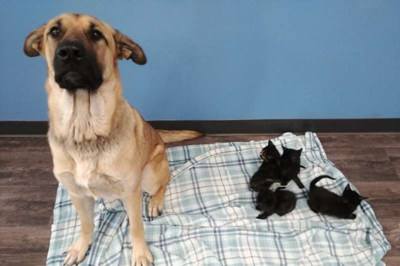 20191126 被收容中心取名為「寧靜」(Serenity)的兩歲母混種狗日前在加拿大安大略省沙塔附近鄉間被救起,當時還有5隻小黑貓「依偎在她身旁」。(圖取自facebook.com/pawr.org)