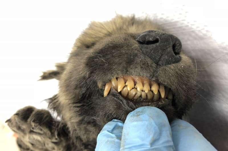 一隻1萬8000年前保存良好的幼犬化石,可能刷新科學界對於犬類演化史的認識。(圖取自Centre for Palaeogenetics@twitter)