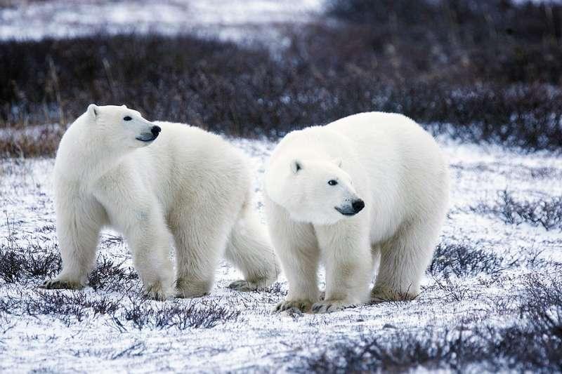 北極熊的皮膚並不是我們所認為的白色,而是黑色的。(圖/取自pixabay)