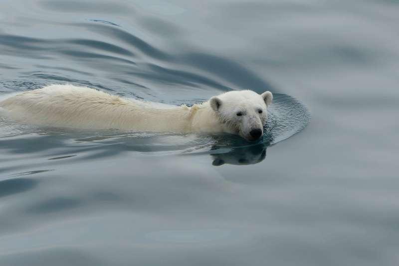 北極冰山消融,北極熊棲息地驟減。(Leni8@pixabay)