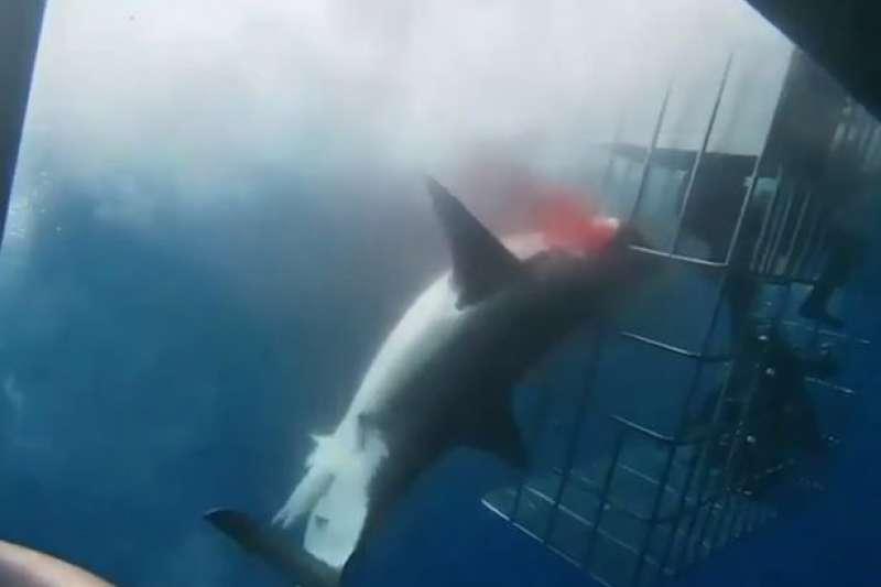 10月份墨西哥的鯊籠潛水發生意外,鯊魚卡在籠子上流血致死。(截自Cabo Shark Dive臉書影片)