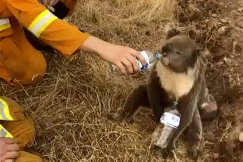 2019年12月,澳洲野火災情嚴重,無尾熊面臨嚴重威脅(AP)