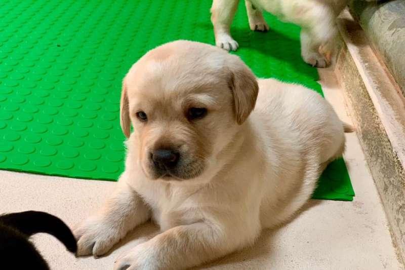 20200107海關對外徵求幼犬寄養家庭,以幫助狗狗社會化、培養獨立性,未來成為獨當一面的執勤犬。(圖片取自海關緝毒犬FB粉絲專頁)