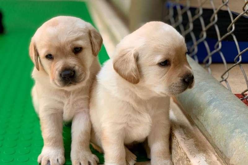 近期有4到5胎的拉不拉多緝毒犬幼犬誕生,海關對外徵求寄養家庭。(圖片取自犬海關緝毒FB粉絲專頁)