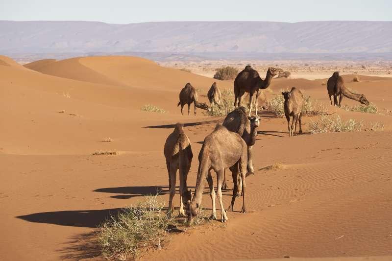 澳洲當局8日派出狙擊手搭乘直升機,預計射殺多達一萬頭駱駝,只因為牠們跟人類爭搶水源。(示意圖/ Wolfgang_Hasselmann@pixabay)