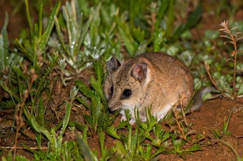 袋鼩(dunnart)(Patrick_K59@Wikipedia CC BY 2.0)