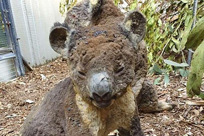 澳洲野火燎原,無尾熊遭殃(AP)