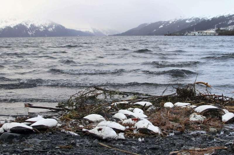2016年,在美國阿拉斯加沖上岸的海鳥屍體。