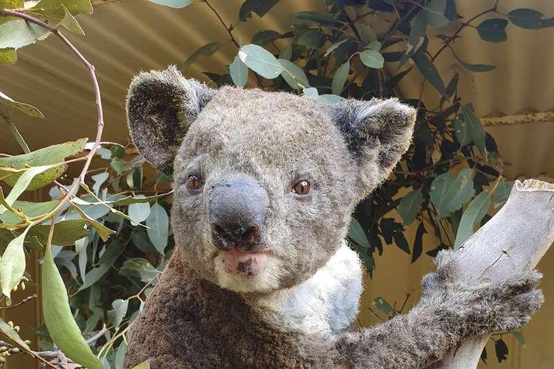澳洲野火讓許多動物受害(AP)