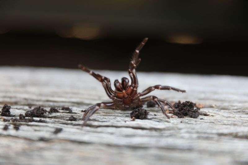 澳洲雪梨漏斗網蜘蛛(翻攝網路)