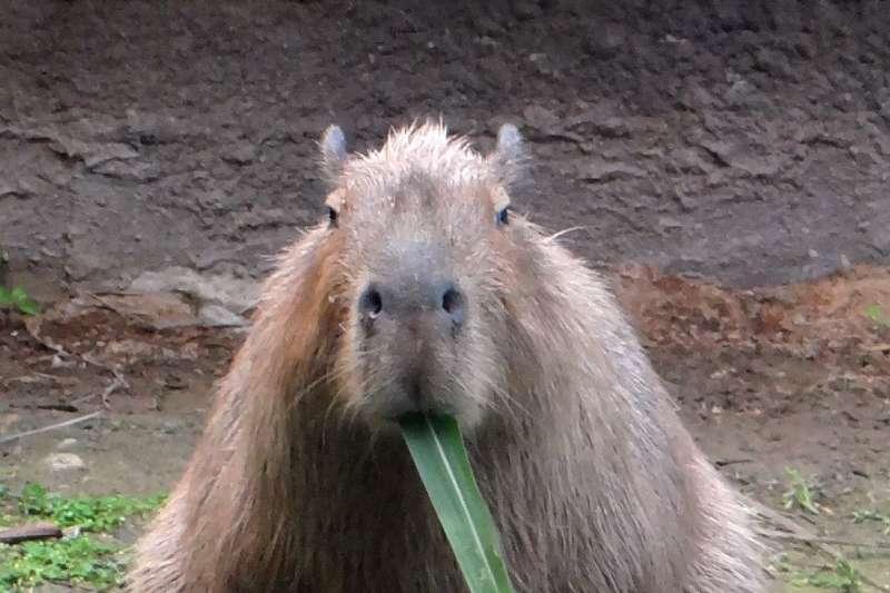 台北市立動物園的水豚,2020年除夕享用大餐(台北市立動物園)
