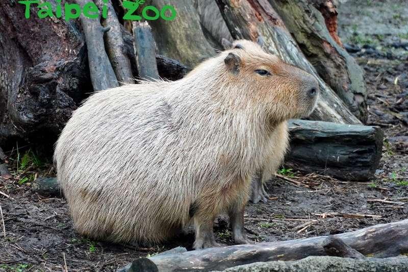 台北市立動物園的小水豚「卡皮」(台北市立動物園)