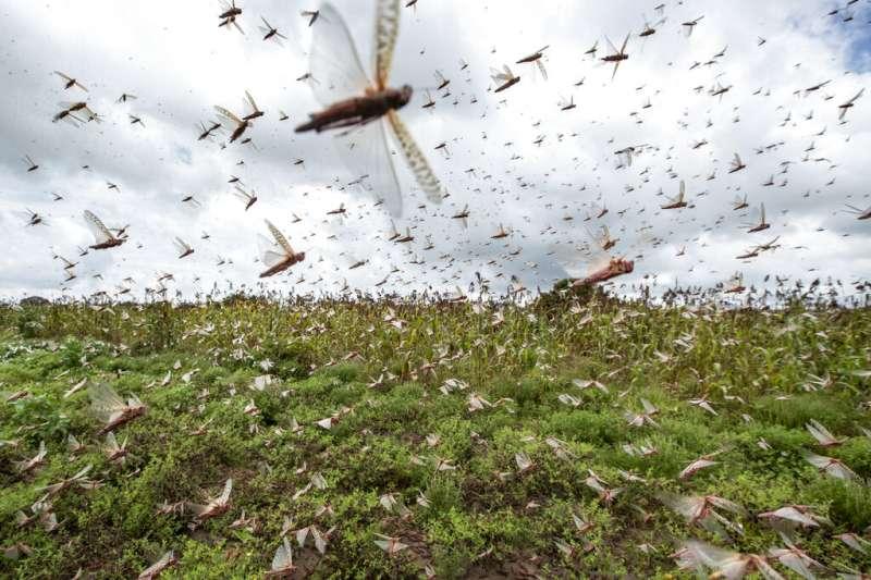 東非爆發幾十年以來最嚴重的蝗蟲災害,數億隻蝗蟲從索馬利亞、衣索比亞湧入肯亞等鄰近國家。(AP)