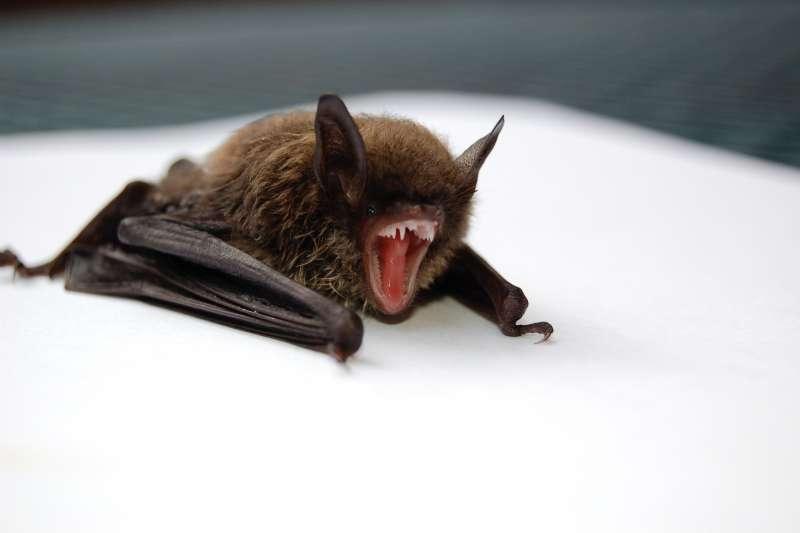 美國學者達薩克博士推測,新型冠狀病毒恐是由「中國馬蹄蝠」蝙蝠帶原傳染(圖/Unsplash)