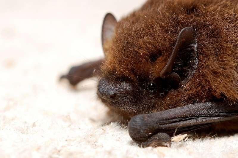 農委會防檢局長杜文珍表示,近五年來的監測,未從蝙蝠體內發現狂犬病毒,以及人畜共通的冠狀病毒。 (圖/環境資訊中心)