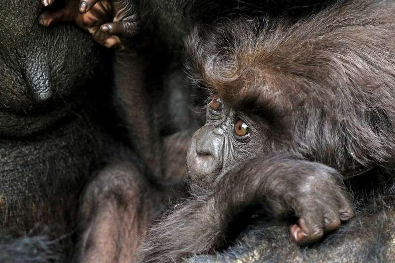 非洲的山地大猩猩(mountain gorilla)(Charles J Sharp@Wikipedia / CC BY-SA 4.0)